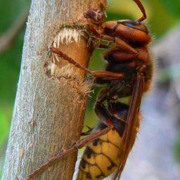 Уничтожение шершней в Краснодаре